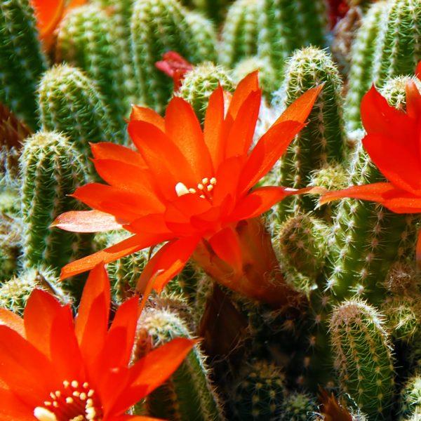 photo of cactus flowers