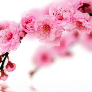 photo of cherry blossoms on a white background