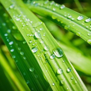 Photo of lemongrass with water droplets